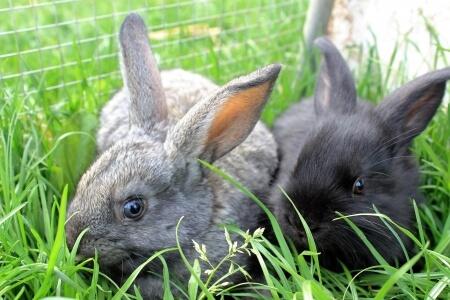 Zwei Hasen sitzen in einem Hasenstall mit Auslauf im Gras